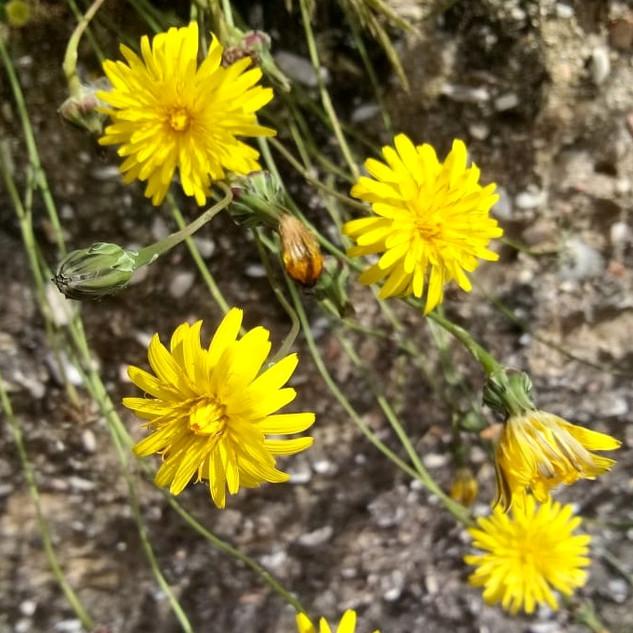 Caccialepri (Reichardia picroides)