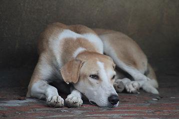 כימותרפיה כלבים