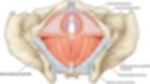 planche-anatomique-périnée-muscler-réédu