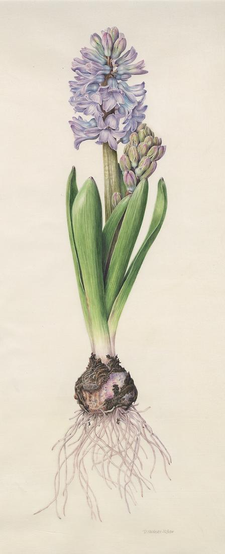 Walser-Kolar, Denise - Hyacinth.tif