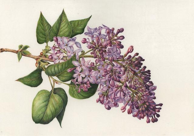 Walser-Kolar Lilac.jpg
