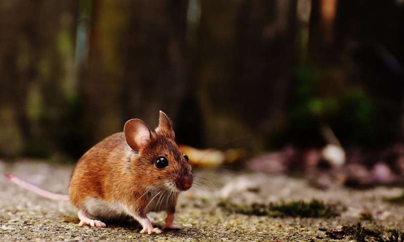 Blocking protein restores strength, endurance in old mice, study finds