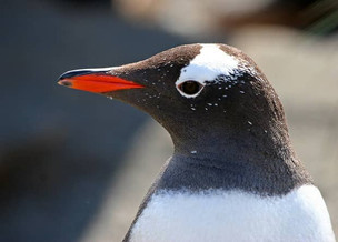 Subantarctic penguins were proposed to be divided into four species