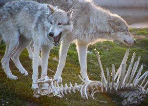 Residents of Colorado voted to return to the state of wolves