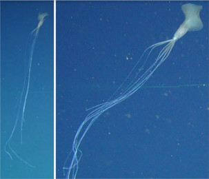 In Australian waters for the first time noticed deep-sea long-armed squid