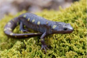 Duel of evolutionary forces disc of rapid evolution salamander coloration