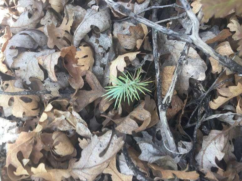 Pinyon pine seedlings are taken into account during the vegetation survey. Photo: Sarah Thurmondt