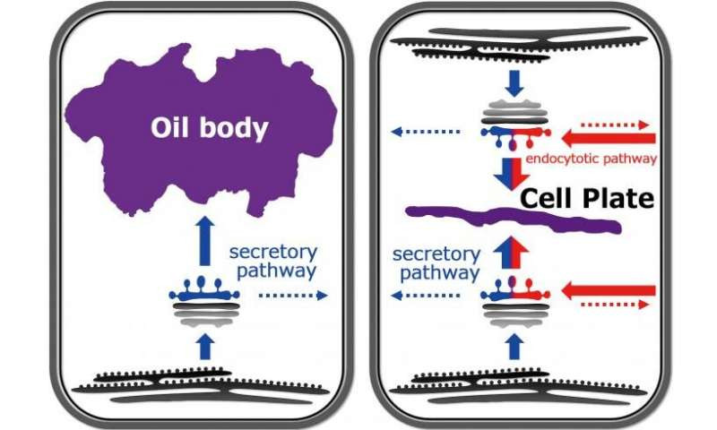 A typical technique for organelle procurement during plant advancement. Both the liverwort oil body and cell plate are produced by redirection of the secretory pathway (blue). Cell plate arrangement additionally includes the reoriented endocytic pathway (red). Credit NIBB