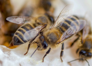Infected bees found elevated levels of pheromone anxiety