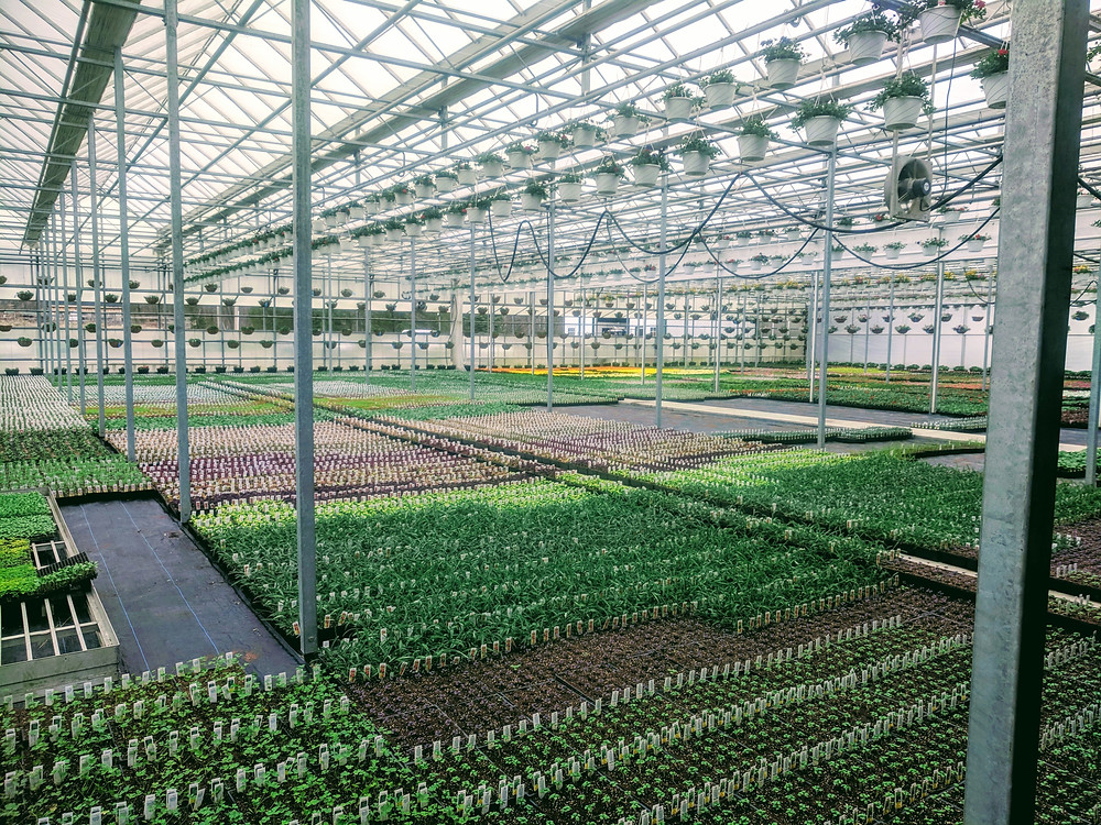 Rows of flowers at the greenhouse