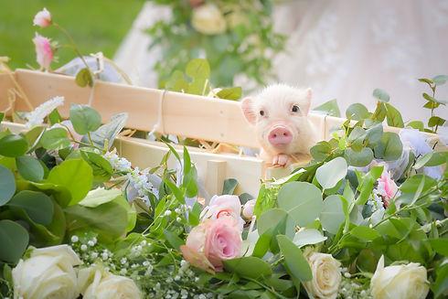 Tea Cup Pig in Flowers at Wedding Venue in Northern NJ