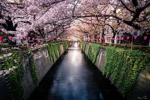 Japão - Explosão de Cerejeiras