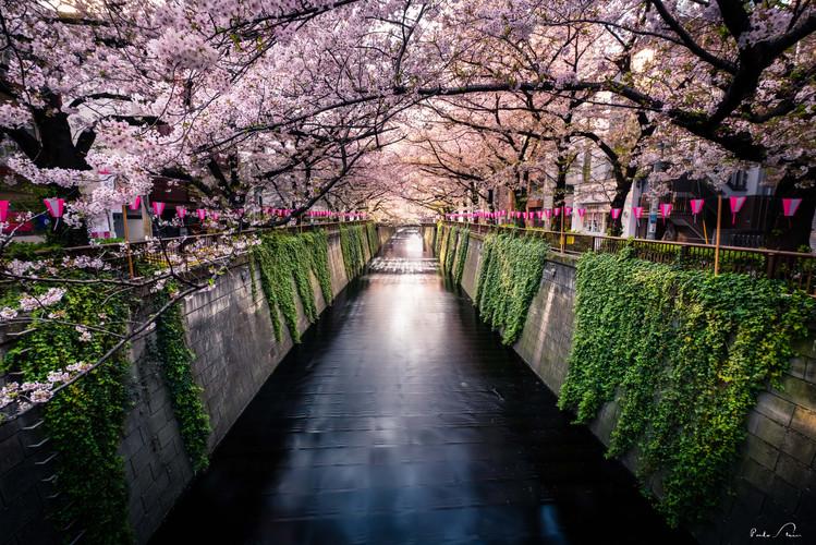 Japão_-_Explosão_de_Cerejeiras.JPG