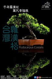 Podocarpus Costalis 001