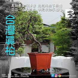 Juniperus Chinensis 007