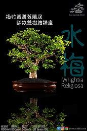 Wrightia Religiosa 004