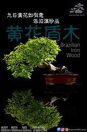 Brazillian Ironwood  001