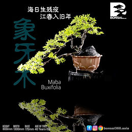 Maba Buxifolia 057