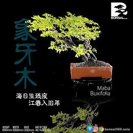 Maba Buxifolia 056