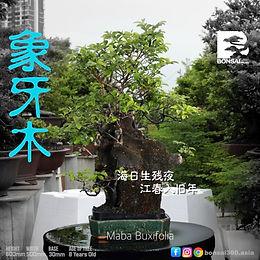 Maba Buxifolia 064