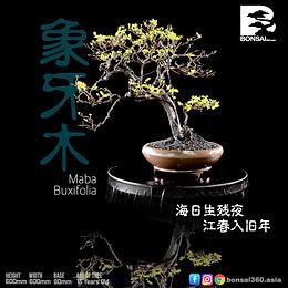 Maba Buxifolia 055