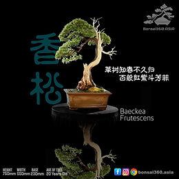 Baeckea Frutescens 004