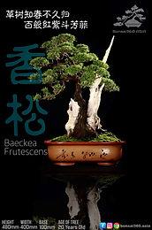 Baeckea Frutescens 001