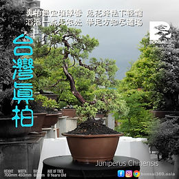 Juniperus Chinensis 006