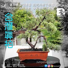 Juniperus Chinensis 009