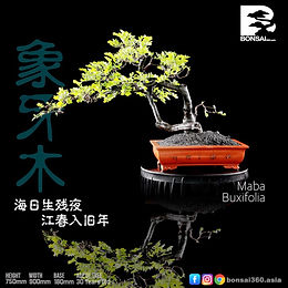 Maba Buxifolia 058