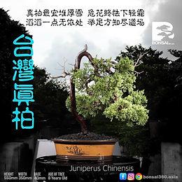 Juniperus Chinensis 003