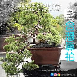 Juniperus Chinensis 011