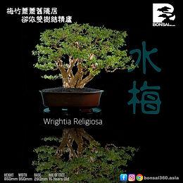 Wrightia Religiosa 006