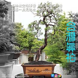Juniperus Chinensis 012