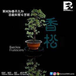 Baeckea Frutescens 005