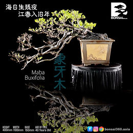 Maba Buxifolia 059