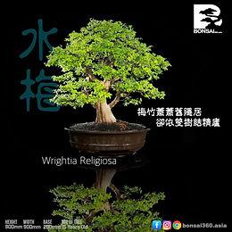 Wrightia Religiosa 010