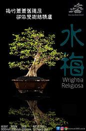 Wrightia Religiosa 005