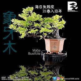 Maba Buxifolia 061