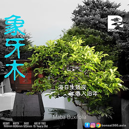 Maba Buxifolia 065