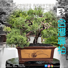 Juniperus Chinensis 013