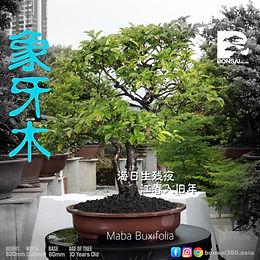 Maba Buxifolia 063