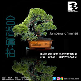 Juniperus Chinensis 001