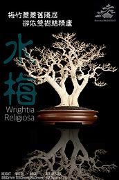 Wrightia Religiosa 002
