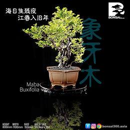 Maba Buxifolia 054