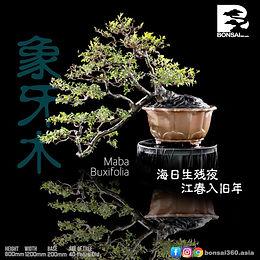 Maba Buxifolia 060