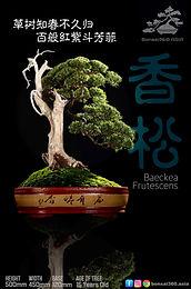 Baeckea Frutescens 002