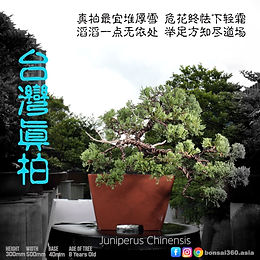 Juniperus Chinensis 002