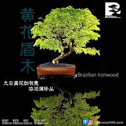 Brazillian Ironwood  003