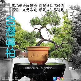Juniperus Chinensis 004